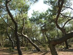 Forêt anémomorphose