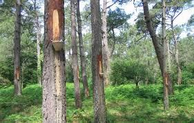 Forêt gemmage 2